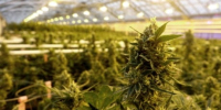After years of preparation, real tests and potential failures await Canada's pot giants