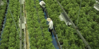 Major Canadian pot companies facing proposed class-action lawsuits in the U.S.